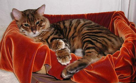 "Tạo ra ""hổ mini"" từ mèo"