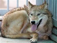 Hàn Quốc: nhân bản thành công chó sói