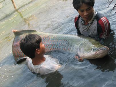 Bắt được cá khổng lồ ở TP HCM
