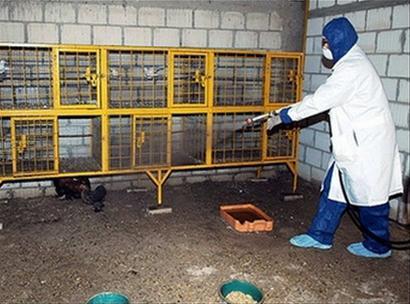 Một nhân viên y tế Kuwait đang tẩy trùng một chuồng gà ở Kabad