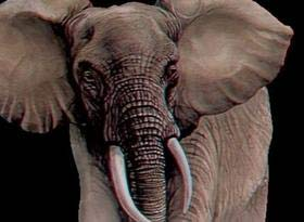 Voi đực giẫm chết voi cái