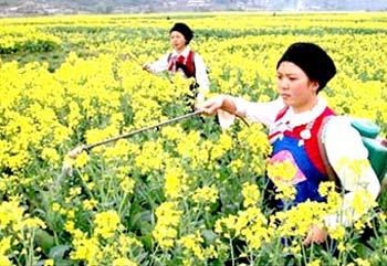 Trung Quốc đẩy mạnh phát triển diesel sinh học từ cây cải dầu