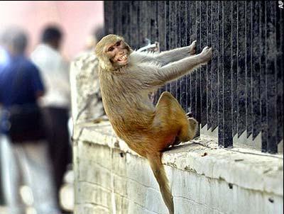 Ấn Độ: Triệt sản cho khỉ