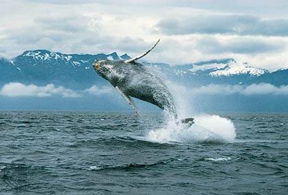 Cá voi bướu nắm kỷ lục di chuyển xa nhất
