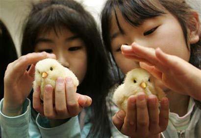 Robot đồ chơi giống hệt gà con tại Nhật Bản