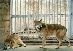SNU điều tra công trình nhân bản sói