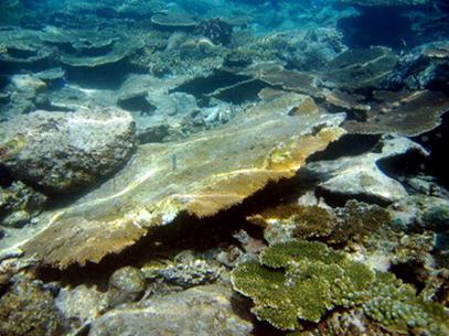 San hô chết hàng loạt sau động đất ở Indonesia