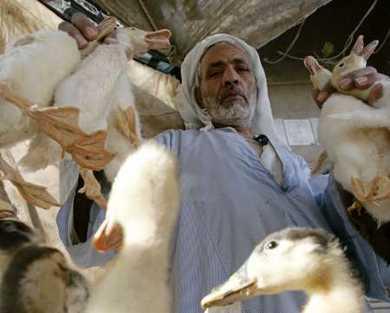 Ai Cập: Điểm nóng mới của cúm gia cầm