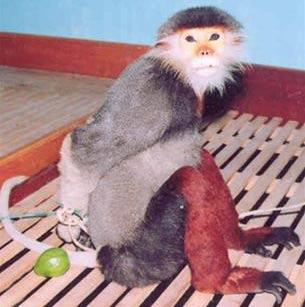 Đà Nẵng: ưu tiên bảo tồn voọc chà vá chân nâu