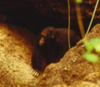 Tinh tinh cũng sống trong hang như người tiền sử