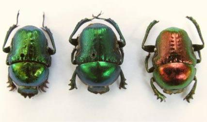 Màu sắc sặc sỡ của bọ cánh cứng có thể ảnh hưởng đến công nghệ ánh sáng trong tương lai