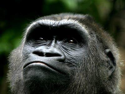 Khỉ đột Phi châu: 98% gien giống gien người