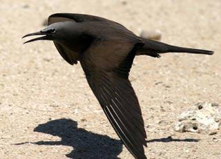 Các loài bay ở Côn Đảo (Phần 1)