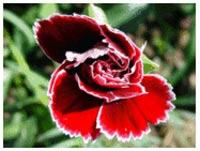Quy trình sản xuất hoa phăng