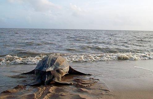 Theo dõi rùa biển bằng vệ tinh