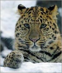 Loài báo Trung Quốc bị đe dọa tuyệt chủng nghiêm trọng
