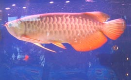 Việt Nam từng tồn tại loài cá rồng quý hiếm?