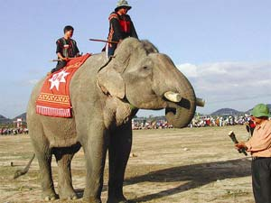 Thụ tinh nhân tạo cho voi