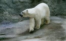 Gia tăng nguy cơ gấu trắng tấn công người