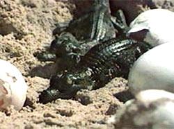Răng giả từ vỏ trứng cá sấu