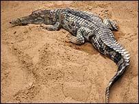 Malaysia tìm vợ cho chú cá sấu hiếm
