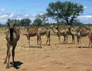 Úc: Lạc đà trở nên hung dữ vì nắng nóng