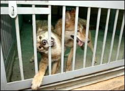 Hàn Quốc chấm dứt tranh cãi về nhân bản sói