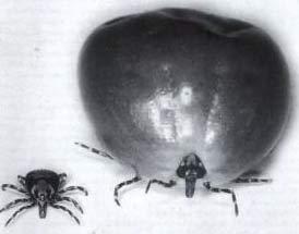 Sau khi giao phối, con ve cái có thể trương phình lên gấp 100 lần kích cỡ ban đầu