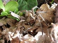 Nọc độc nhện - Viagra tự nhiên
