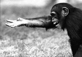 Loài khỉ cũng sử dụng cử chỉ để liên lạc với nhau