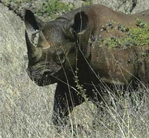 Zimbabwe mất 40 tê giác đen