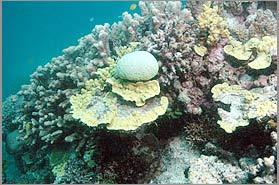 Nước biển nóng gây nguy hiểm cho san hô
