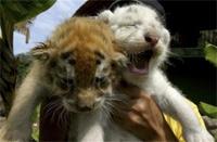 Vườn thú Mexico bận rộn vì hàng loạt hổ ra đời