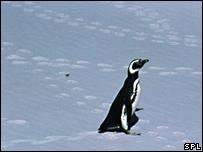 Chú chim cánh cụt sống sót qua hàng nghìn kilomét