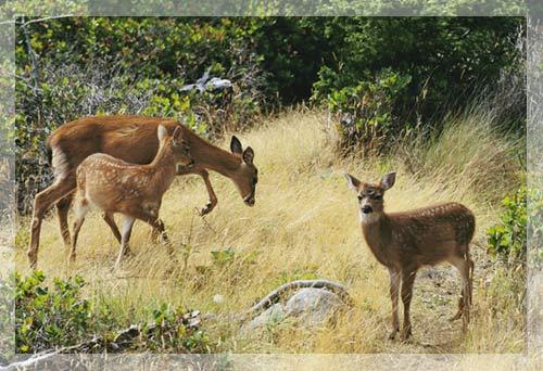 Hươu mule - Bà mẹ của năm