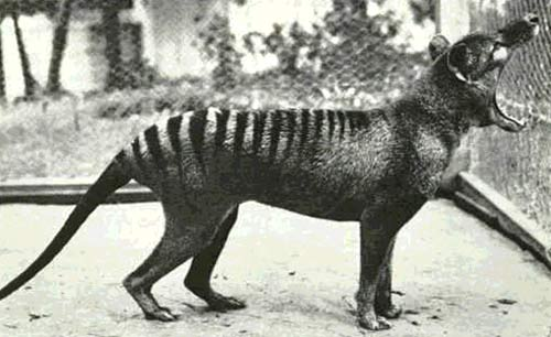 Con Thylacine cuối cùng của thế giới