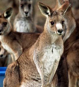 Australia muốn diệt bớt chuột túi