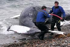 Cá voi lưng gù xuất hiện trên sông Sacramento (Mỹ)