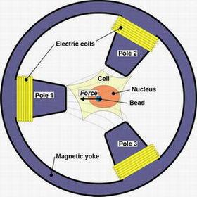 """""""Nhíp"""" từ tính làm sáng tỏ tính chất cơ học của tế bào"""