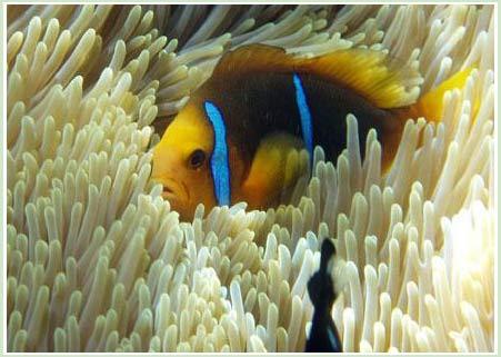 Cá hề Amphiprion clarkii