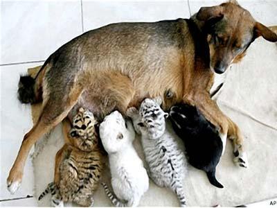 Mẹ chó nuôi con hổ