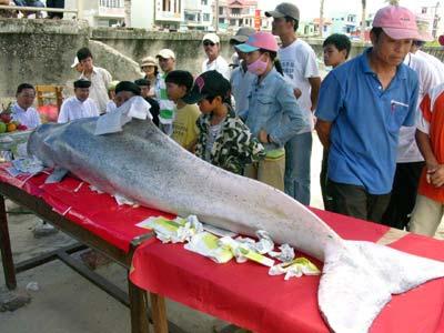 """Đà Nẵng: Cá """"Ông"""" khoảng 150kg dạt vào bờ"""