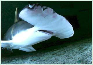 Phát hiện kỳ lạ - cá mập sinh con không cần bố