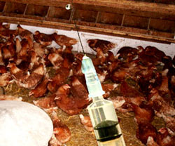 """Vaccin H5N1 """"made in Vietnam"""" sắp được thử nghiệm trên người"""