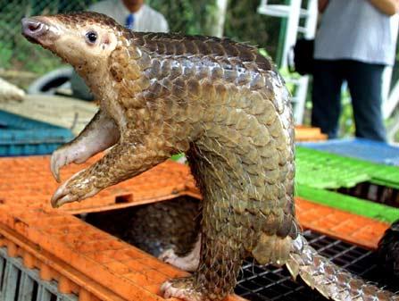 Loài tê tê có nguy cơ bị tuyệt chủng