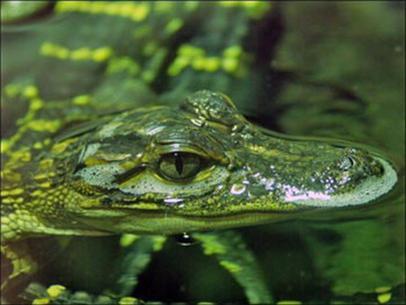 Phát hiện cá sấu xanh ở Mexico