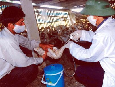 Thêm Bắc Giang, Hải Phòng xuất hiện dịch cúm gia cầm