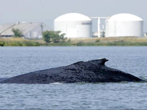 Cá voi thoát ra biển sau nhiều ngày đi lạc