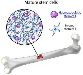 Các tế bào thân trong tủy xương có thể trị được bệnh mắt