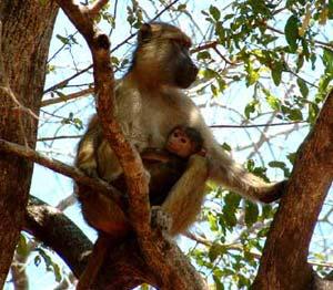 Khỉ đầu chó thích rình trộm sex